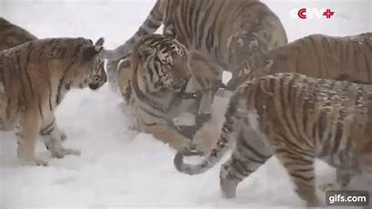 Tigers Siberian Flying Drone Prey Gifs Petite