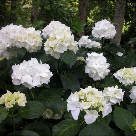 image gallery hortensia immaculata