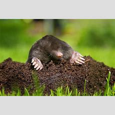 How To Get Rid Of Moles  Better Homes & Gardens