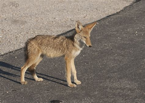 grey and yellow area a year for coyotes on antelope island feathered