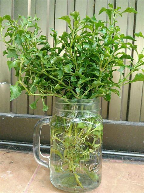 ทดลองปลูกวอเตอร์เครสในขวดแก้ว สำเร็จ ต้นนี้เป็นผักน้ำไทย