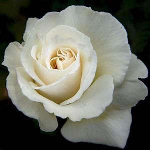 Fleur Rose Et Blanche : rosier anastasia rosier grimpant grandes fleurs p pini res naudet ~ Dallasstarsshop.com Idées de Décoration