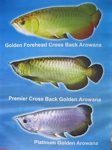 flowerhorn, pond, aquarium,tips,water,plant: Types Of ...
