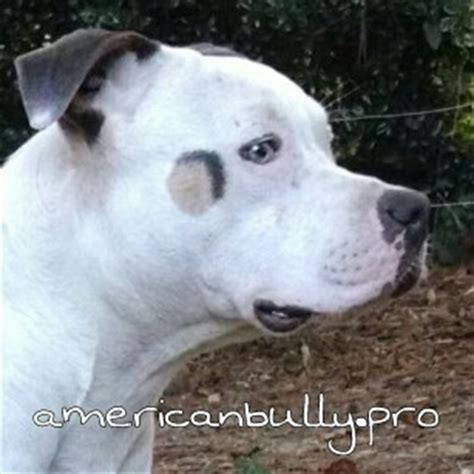 tri color american bully tricolor in the american bully triline kennels