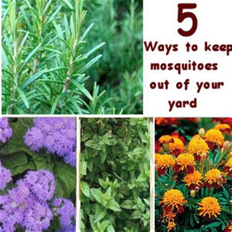 5 natural ways to keep mosquitoes out of your yard i