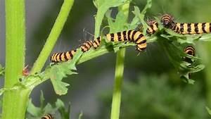 Cannibal Caterpillars