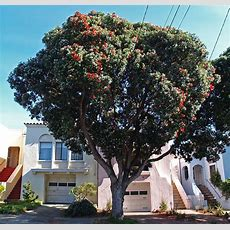 New Zealand Christmas Tree  Friends Of The Urban Forest