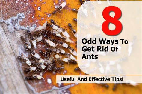 how to get rid of ants in your home 8 odd ways to get rid of ants