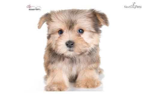 do morkie puppies shed meet a morkie yorktese puppy for sale for