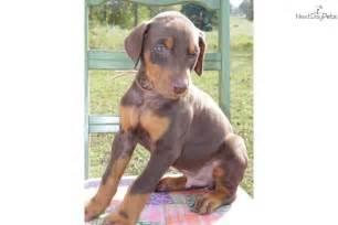 Brown Doberman Pinscher Puppies