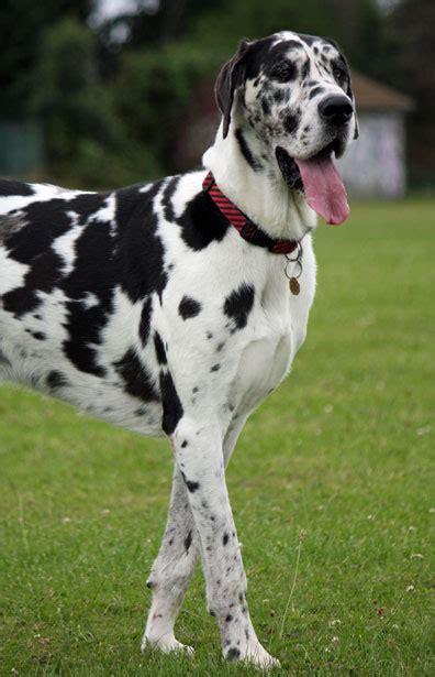 Great Dane Dog Dancing Dog Blog
