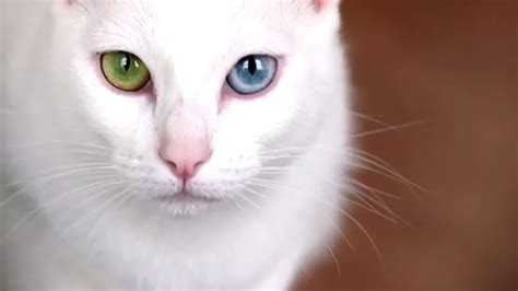 breeds cat expensive most breed sphynx information facts