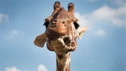 Funny Giraffe Wallpapers Muzzle 4k Widescreen Ultra