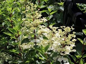 Hortensie Wims Red : hortensie hydrangea paniculata 39 wim 39 s red 39 hortensientr ume ~ Michelbontemps.com Haus und Dekorationen