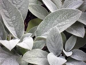 Plante Oreille De Lapin : plante d ornement feuillage argent 8 vari t s ~ Melissatoandfro.com Idées de Décoration
