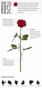 Anatomy  Terminology   U0026 Luxury  Your Rose Guide
