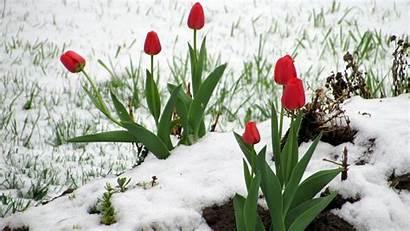 Snow Flowers Winter Desktop Flower Tulips Tulip