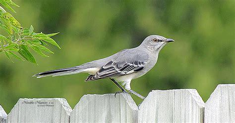 arkansas state bird bing images