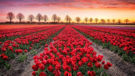 tulips bed farm hd tulip farm in noordoostpolder wallpaper wallpaper studio 10 tens of thousands hd and ultrahd