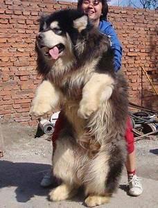 Big Fluffy Dog – 1Funny.com