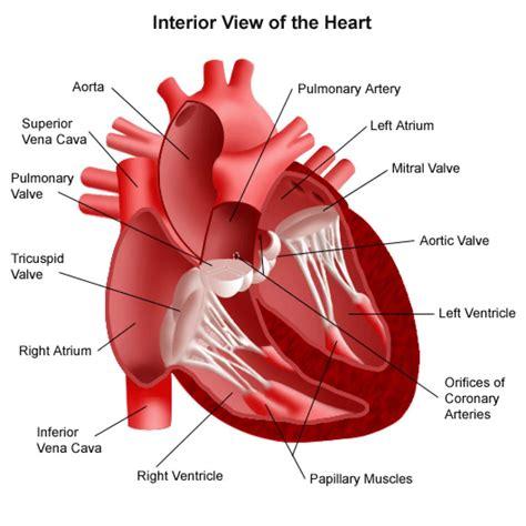 Human Heart Diagram Blank