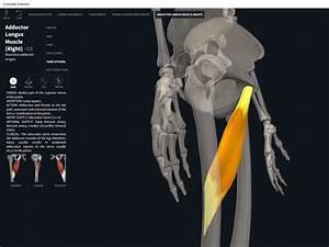 Muscles  Adductor Longus   U2013 Anatomy  U0026 Physiology