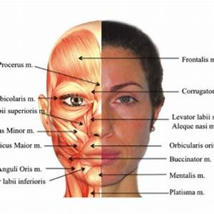 Human Head Structure Diagram - Human Anatomy Body