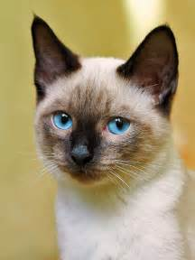 siamese cats siamese cats images siamese cats wallpaper and