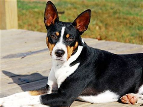 rat terrier information characteristics facts names