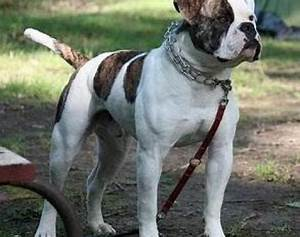 Picture 3 of 7 - American Bulldog Pictures & Images ...