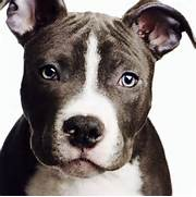 Blue-Nose Pit-Bull Terrier Puppy   Gorgeous Pit bulls   Pinterest  Bull Terrier Blue Nose Pitbull Mix