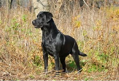 Labrador Retriever Dog English American Field Golden