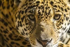 Trump's Wall Threatens Last Jaguars in the U.S.  Jaguar