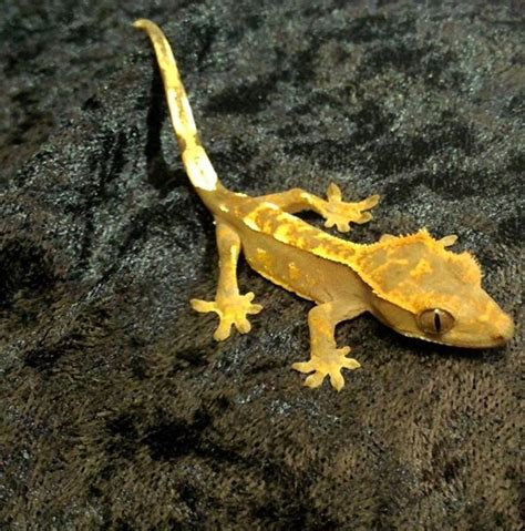 crested gecko rick s fish pet supply inc
