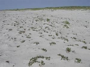 Seabeach Amaranth Guide