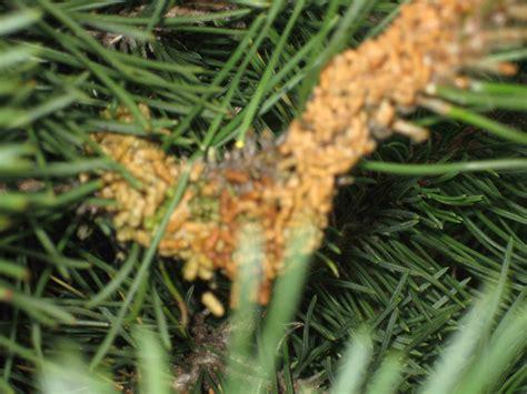 Kiefer krankheiten  Gräser im kübel überwintern