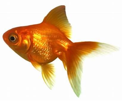 Goldfish Clipart Realistic Clip Fish Peces Transparent