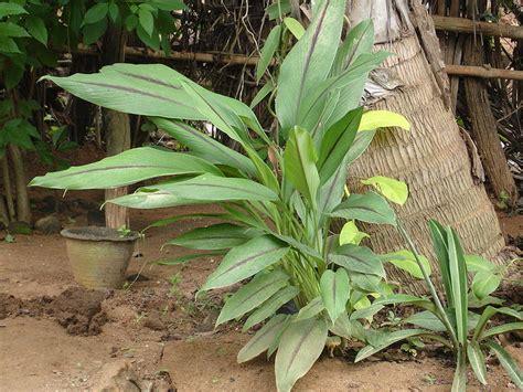 como cultivar curcuma en tu casa plantasparacurarcom