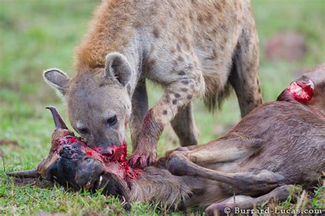 hyena kill burrard lucas photography