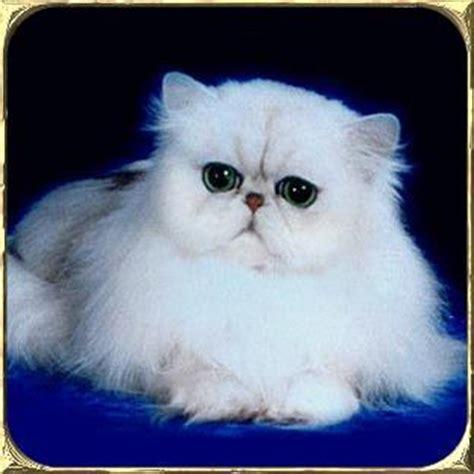 gatti persiani a pelo corto persiani anfi liguria gatti in liguria