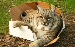 big cats in boxes big cats big boxes