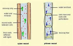Xylem And Phloem Diagrams