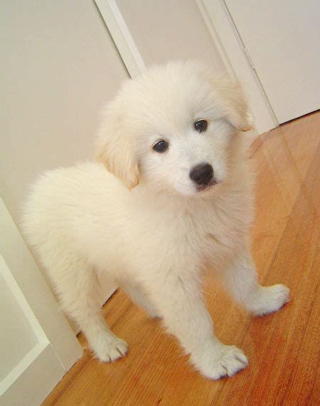 Bella The Golden Retriever X Samoyed Puppies Puppies