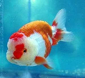 Beautiful Ranchu Goldfish   Lionhead goldfish, Aquarium ...
