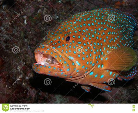 grouper fish mouth shrimp