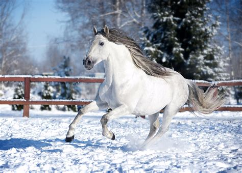 andalusian horse stallion bay horses paddock breed breeds petguide temperament friesian dark sylestia under forums