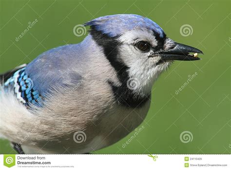 blue jay eating peanuts royalty free stock images image 24110429