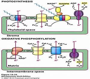 Photo Vs  Oxidative Phosphorylation