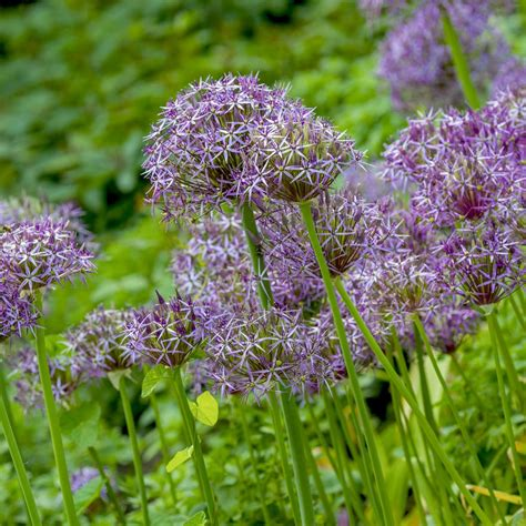 allium bulbs allium christophii alliums specialty bulbs