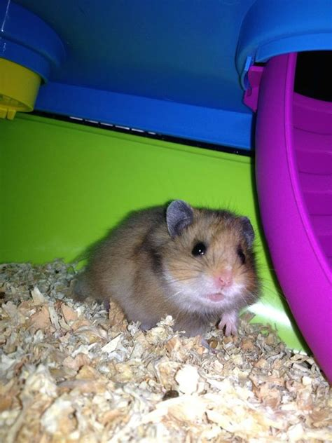 l esperance de vie d un hamster rongeur compagnie